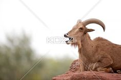 yawning wild goat - Wild goat yawning while resting on top of a rock.