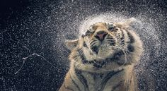 Tiger shaking off water- Tim Flach photography
