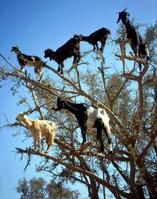 -the goats weren't taking any chances so they took to the trees:finish the story if you please:ceeanne.