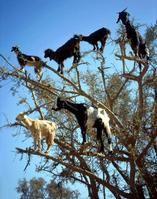 tree climbing goats of marocco.