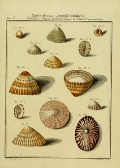 1 Bd. (1769) - Neues systematisches Conchylien-Cabinet / - Biodiversity Heritage Library