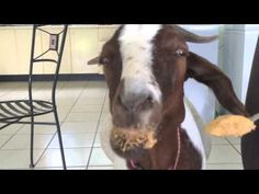 A goat eating peanut butter? Absolutely captivating. #peanutbutter #PBJAnimals
