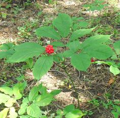 how to plant and grow ginseng