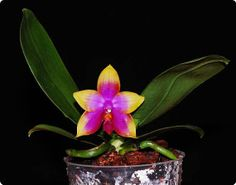 Phal.princess caiulani mikiorchid plant by Florasplants on Etsy, $38.00