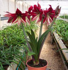 Amaryllis Ruby Star