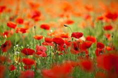 Image result for high resolution poppies