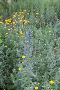 Blue and Yellow Flowers - Blue viper's bugloss against yellow tansy made a pretty picture in http://www.decodedplants.com/research-botanical-garden-arboretum-flagstaff-high-desert/1721