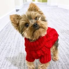 Dogs are adorable especially when they look so curious. They can melt your heart so easily! Cute puppy @therealkloek ・・・ Weekly special item red sweater available here: http://www.unitedpups.com/deal ・・・ #yorkies #animallover #yorkielove