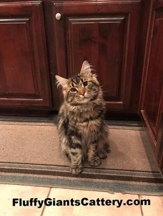 CFA & TICA registered cattery in SE Michigan, we are an in-home Maine Coon breeder, with European Champion bloodlines sire & dames. Bossier City, Maine Coon Kittens, Kitten For Sale, Cattery, Michigan, Beast, Animals, Animales, Animaux