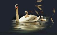 Mama Swan with babies