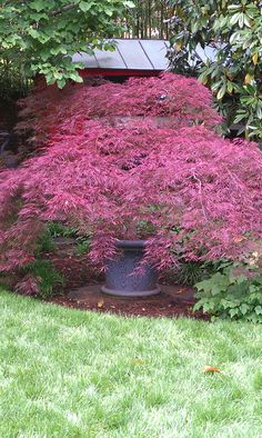 Japanese maple in a pot for sanctuary patio Patio Trees, Potted Trees, Patio Plants, Outdoor Plants, Garden Planters, Japanese Garden Plants, Japanese Garden Design, Japanese Gardens, Dwarf Trees For Landscaping