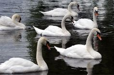 The resident swans of Roath Park Lake, Cardiff