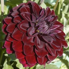 "VOODOO (BBFD) Introduced in 2000. Another addition to the ever popular ""black dahlias"". Very much admired at our fall festival this 5"" bloom..."