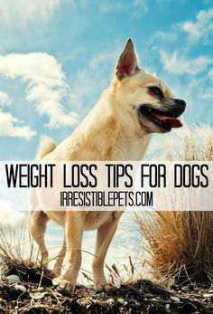 Dog Weight Loss Tips Dog Weight Loss Tips and Resources for the New Year. Cat Health Care, Dog Health Tips, Best Practice, Dog Care Tips, Pet Care, Cheap Pet Insurance, Dog Weight, Dog Diet, Love Your Pet