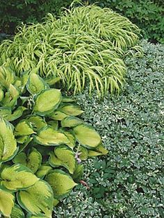 Shade garden combo - Hakone grass is a great perennial for the shade. Hakonechloa macra 'Aureola' is shown here with a hosta and variegated pachysandra