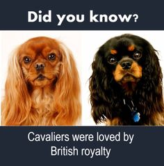 7 things you probably don't know about Cavalier King Charles Spaniels. King Charles Spaniel, Cavalier King Charles, Cavalier Rescue, Spaniels, Buckets, Animals And Pets, Royalty, British, Dogs