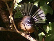 The New Zealand Fantail (Rhipidura fuliginosa) is a small insectivorous bird. Nz Art, Little Birds, Pet Birds, New Zealand, Kiwi, Animals, Free, Animales, Small Birds