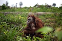 Palm oil companies have, allegedly, been paying locals to kill orangutans. These two were saved...they ALL need to be saved...