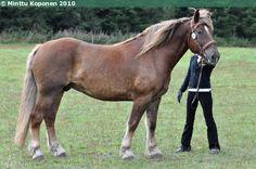 Estonian Draught - gelding Eleron