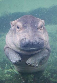 Adorable little hippo! Cute Hippo, Baby Hippo, Cute Baby Animals, Animals And Pets, Funny Animals, Happy Animals, Wild Animals, Gato Animal, Mundo Animal