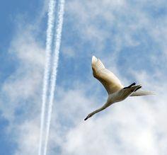 Swan in flight by Remy Bergsma on 500px