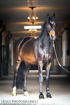 be so good they cant ignore you Most Beautiful Horses, All The Pretty Horses, Cute Horse Pictures, Warmblood Horses, Bay Horse, Cute Horses, Equine Photography, Photography Photos, Horse Girl