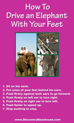 Driving an elephant isn't as hard as it seems. It's all in the feet.  Click here to learn more about us http://www.discoverybeachouse.com/about-us #paradiseawaits