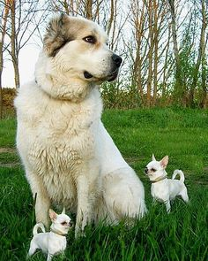 Bodyguards - When I was a kid, my dad told me how this works. The little dogs wake the big one up when perceived  danger is imminent.  HE then does the watchdog thing.