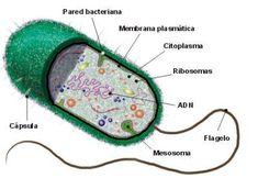 celulas procariotas - Buscar con Google