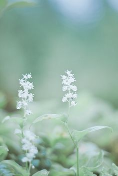 ♀ Bokeh photography flowers white Ethereal Fantasy