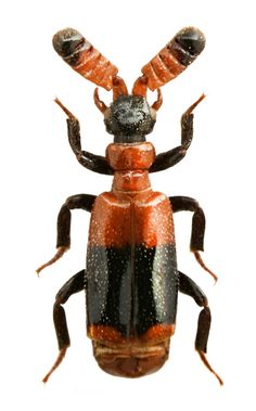 Image result for ceratoderus beetle