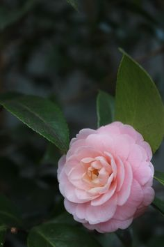 This beauty of pink camellia is in my backyard - the oil from the seed is a staple in our products.