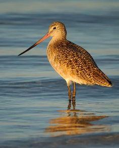Ontario Birds - Marbled Godwit