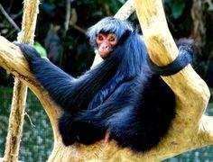 Mono araña preto*