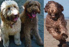 Дизайнерские собаки породы Дабл дудл, double doodle - фото