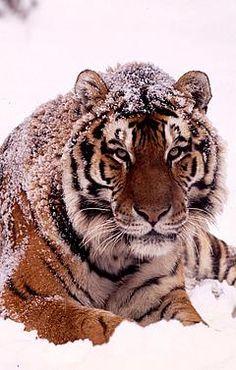 Image detail for -Amur or Siberian tiger (Panthera tigris altaica) / ©: Kevin Schafer . Beautiful Cats, Animals Beautiful, Cute Animals, Wild Animals, Beautiful Pictures, Panthera Tigris Altaica, Snow Tiger, Tiger Tiger, Sumatran Orangutan
