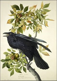 There is Nothing Common About a Raven : Common Raven by John James Audubon