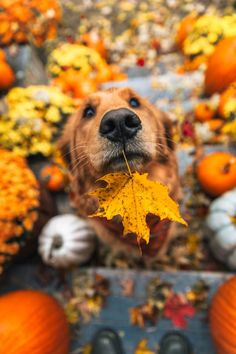 on this harvest moon Pets, Pet Dogs, Dog Cat, Doggies, Fall Pictures, Fall Photos, Cute Dogs And Puppies, I Love Dogs, Puppies Puppies
