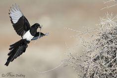 black-billed-magpie-9927-ron-dudley.jpg (900×600)