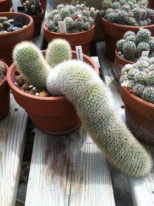 Bristle Brush Cactus