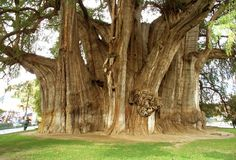 "(""The Tule Tree"") is an especially large Montezuma cypress (Taxodium mucronatum) near the city of Oaxaca, Mexico. This tree has the largest trunk girth at 190 feet (58 m) and trunk diameter at 37 feet (11.3 m). The Tule tree is so thick that people say you don't hug this tree, it hugs you instead!    For a while, detractors argued that it was actually three trees masquerading as one – however, careful DNA analysis confirmed that it is indeed one magnificent tree."
