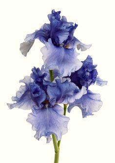 Hydrangea Aspera, Hydrangea Serrata, Iris Art, Flowers Nature, Green Plants, Flower Tutorial, Pattern Art, Flower Decorations, Beautiful Gardens