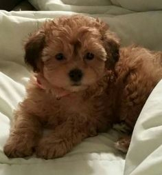 25 Shih Tzus Mixed With Poodle Shih Tzu Poodle, Poodle Mix, Cute Cats And Dogs, I Love Dogs, Pet Dogs, Dog Cat, Doggies, Cute Puppies, Dogs And Puppies