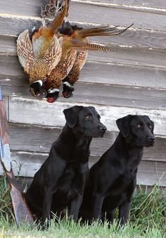 Black Labrador British labs at Wildrose Kennels in Oxford, MS Black Labrador Retriever, Labrador Retrievers, Labrador Puppies, Retriever Puppies, Hunting Dogs, Duck Hunting, Coyote Hunting, Turkey Hunting, Archery Hunting