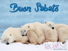 buon sabato immagine con frase aforisma orsi bianchi.jpg