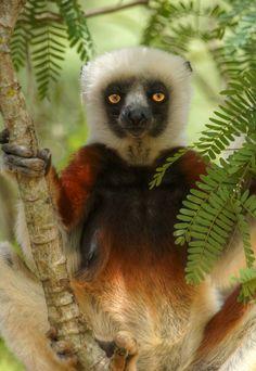 magicalnaturetour:  posing lemur (by mariusz kluzniak) via Franswazz