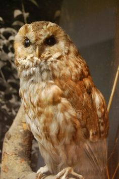 Photographer- Leonora Asomanin Taxidermy owl