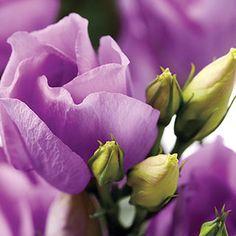 Ornamental Plants, Foliage Plants, Growing Flowers, Cut Flowers, Lisianthus Flowers, Lavender Centerpieces, Lavender Garden, Growing Seeds, Dream Garden