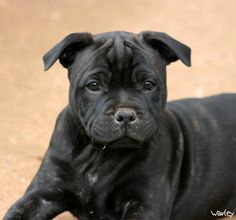 Cant wait to welcome a beautiful staffy puppy into our family this Christmas x