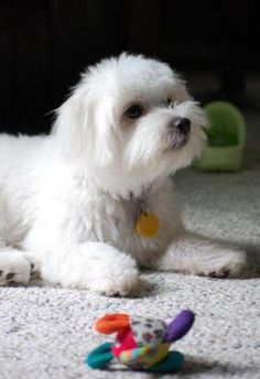 Norman is our family's Malchi puppy, though he is not half and half; he is 3/4 Maltese and 1/4 Chihuahua, so he is much fluffier and weighs slightly more